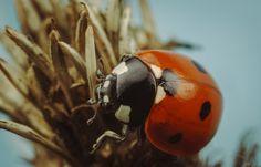 7-spot ladybird - Coccinella septempuntacta
