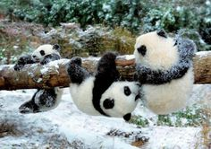 """Three Cute Panda Cubs: """"Triplet Pandas are we, playing on this log-tree!  Because now is our playtime, you see!""""  (Short Poem Written By: Lynn Chateau © )"""
