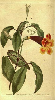 Botanical Print By Sydenham Teast Edwards 1768 – 1819 Print by Quint Lox.