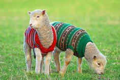 Cute! lambs wearing wool sweaters. ;)