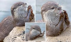 Otter at Holland's Wildlands Adventure Park pictured 'praying' for fish Zoo Pictures, Sea Otter, All Gods Creatures, Zoo Animals, Otters, Mammals, Fish, Life 2016, Mail Online
