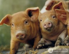 Ginger piglets. Photo: Andrew Montgomery. countryliving.co.uk