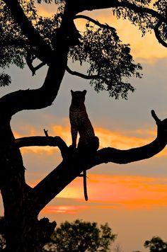 Leopard silhouette in tree.