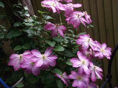 Pretty in Pink in my Back #Garden, www.pinterest.com/annbri/