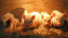 Baby pot belly pigs | Flickr - Photo Sharing!