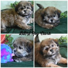 ... on Pinterest | Shichon puppies, Shih tzu and Teddy bear puppies