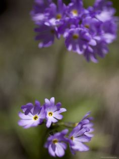 Macro Image of Purple Flowers in a Chinese Forest, Shennongjia, China  by David Evans
