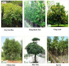 Mua bán cây công trình giá rẻ tại Hà nội