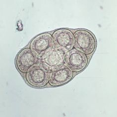 D. caninum egg packet, containing 8 visible eggs, in a wet mount.