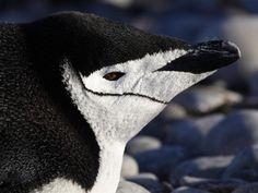 Chinstrap Penguin (Pygoscelis antarctica), Cooper Bay, South Georgia island by Christophe Gouraud