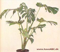 Monstera er en pragtfuld plante, når den trives godt. Den bliver nemt, selvom det tager sin tid, op mod 2½ m som stueplante. Den tilhører Arum-familien eller Araceae-familien, og er ...