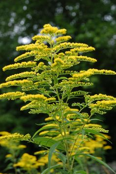 Goldenrod ...Nebraska State Flower