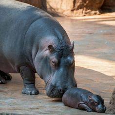 Un cucciolo di ippopotamo (Hippopotamus amphibius) di tre giorni con la madre allo Zoo Africarium di Wroclaw, in Polonia