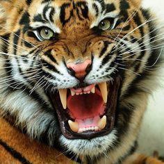 Interesting tiger facts for kids and adults. We showcase types, breeds and species of tigers, and discuss how the tiger population is endangered. Bengalischer Tiger, Angry Tiger, Tiger Art, Bengal Tiger, Tiger Head, Tiger Cubs, Siberian Tiger, Bear Cubs, Image Tigre