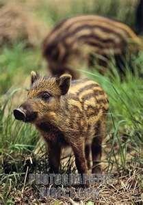 Baby Wild Boar Piglets