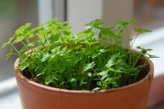 Parsley Container Growing – How To Grow Parsley Indoors. Grows well with Thyme, Basil, Mint, Chives and Oregano