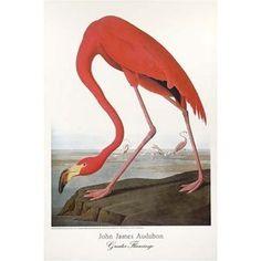 Flamingo, Audobon