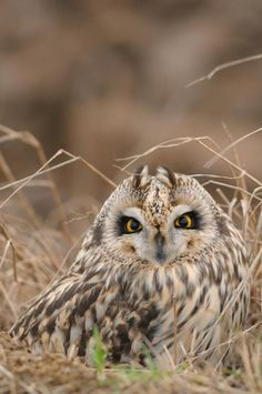 Short-Eared Owl in natural habitat on the ground...