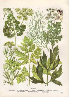 Vintage Herb Botanical Print Food Plant Chart Art by AgedPage