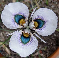 flores exóticas Íris Pavão (moraea villosa)