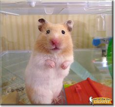 This is my pretty little hamster, her name is Crumpet. She is a syrian hamster with nice gold and white fur which she keeps pretty clean. crumpet is a very talented hamster. I once saw her do a backflip! She was on the platform in her cage and then she was on the floor, and she was perfectly fine! She is also very strong. She likes rearranging things in her cage so they suit her liking.