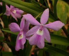 Orchid: Dimerandra elegans
