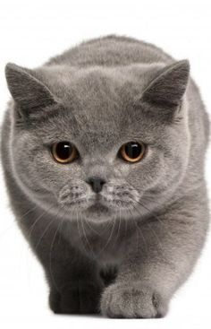 Not a cat person. But I could make an exception for British shorthair
