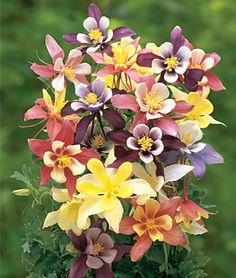Columbine, Harlequin Mixed Colors. Earlier, more uniform blooming and more vigorous than other mixtures. Formula mixture includes pure white, yellows, pinks, blues, purples, and many bicolor combinations. For earlier bloom, sow seeds indoors in a well-lighted area about 8 weeks before last expected heavy spring frost. Pre-chilling seeds increases germination.