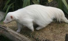 Albino somethin?? Not sure what this aminal is, but it looks very adorable and fluffy. :3 I want one....