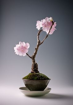 Top 14 Most beautiful bonsai tree images in the world. As the flowers and fruit trees were planted in bonsai style and create stunning compositions. Buy Bonsai Tree, Flowering Bonsai Tree, Bonsai Plants, Bonsai Garden, Bonsai Trees, Cherry Blossom Bonsai Tree, Succulents Garden, Air Plants, Cactus Plants