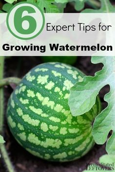 6 Expert Tips for Growing Watermelon- Growing watermelon can be a challenge. You will find it much easier with these helpful gardening tips.