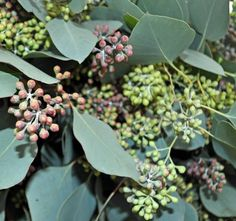 Eucalyptus Flatberry Seeded Extra