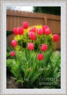 Pink Tulip Flowers Framed Print by Kay Novy #tulips #pink #spring #seasonal #beautiful #nature #garden #Wisconsin #photography #KayNovy #kkphoto1