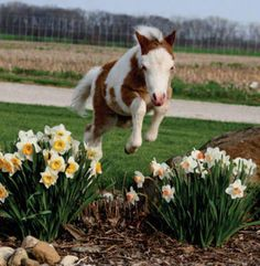 Cool Stuff We Like Here @ CoolPile.com ------- << Original Comment >> ------- Baby foal jumping over the daffodils