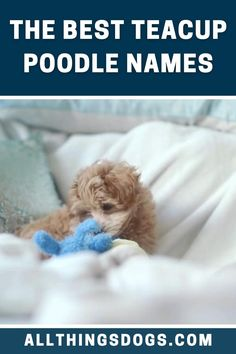 Bred in the 'teacup' era of dogs, the Teacup Poodle is the smallest dog in the Poodle family. Being loyal and loving, Teacup Poodle names can also be inspired by their unique traits. Read our breed guide for some inspiration. #teacuppoodlenames #teacuppoodle #namesforateacuppoodle Teacup Poodle Puppies, Tea Cup Poodle, Best Dog Names, Puppy Names, Smallest Dog, Cool Toys, Small Dogs, Cute Dogs, Tea Cups