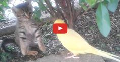 Click to see a parrot desperate to make friends with a kitten!