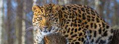 ★ Fresh Orange ★ Leopardin harvinaisen alalajin ja maailman harvinaisimmaksi arvioidun kissapedon, amurinleopardin, määrä on kaksinkertaistunut viimeisen seitsemän vuoden aikana. Juuri julkaistujen tutkimustulosten mukaan Venäjällä elää nyt ainakin 57 amurinleopardia, kun vuonna 2007 niitä laskettiin olevan vain noin 30 yksilöä. Lisäksi laskentojen yhteydessä Kiinassa havaittiin 8–12 amurinleopardia. https://www.facebook.com/malle.taar/posts/10203991392525302