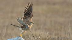 Βραχοκιρκίνεζο - Falco tinnunculus.