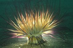 Sea Anemone National Geographic | Sea Anemone National Geographic | Visit photos.msn.com