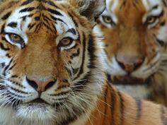 Amur Tiger Hero and Circle