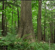A beautiful forest-grown White Ash, in Western Massachusetts. Ray Asselin, New England Forests.