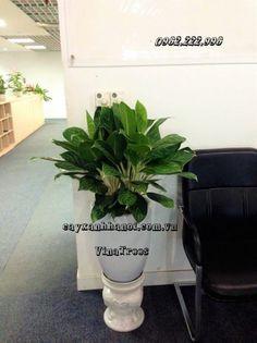 Dịch vụ cho thuê cây cảnh văn phòng Vinatrees - Cho thuê cây Bạch Mã Hoàng Tử  http://cayxanhhanoi.com.vn/noi-dung/cho-thue-cay-canh-noi-that-155.html