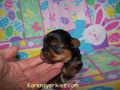Newborn Baby Puppies for Sale | puppies for sale, Yorkies for sale, Yorky breeder, Yorky puppies ...
