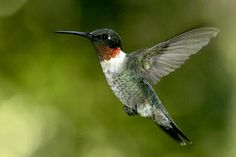 Ruby Throated Hummingbird Pictures, Photos