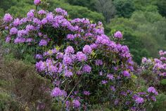 Rhododendron - Flickr - Photo Sharing!