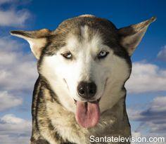Cani husky nella Lapponia finlandese