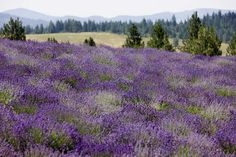 Is there anything prettier than a rolling field of lavender? This was taken at our St Maries, Idaho farm. See more here: http://seedtoseal.com/en/st-maries