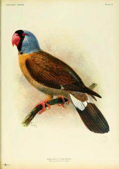 The Mascarene Parrot. Now Extinct. Rothschild, Lionel Walter Rothschild. Extinct Birds (1907)