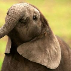 Oh my heart. From : For info about promoting your elephant art or crafts send me a direct message Abbey Leigh Love. Elephant Images, Elephant Art, African Elephant, Elephant Gifts, Cute Baby Elephant, Cute Baby Animals, Funny Animals, Baby Hippo, Wild Animals