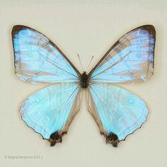 Light Blue Butterfly